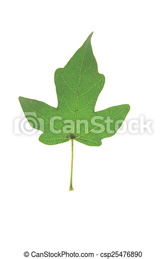 Field Maple Acer Campestre Single Leaf Isolated Against White