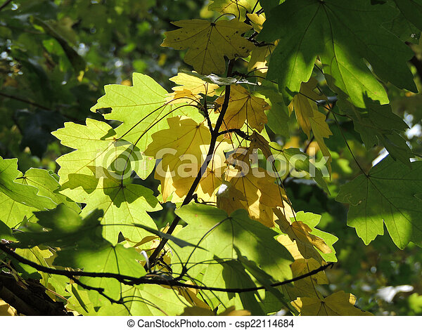 Field Maple Foliage Maple Leaf Of Acer Campestre Field Maple