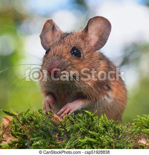 Brown Field Mouse