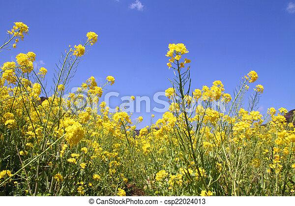 field mustard - csp22024013
