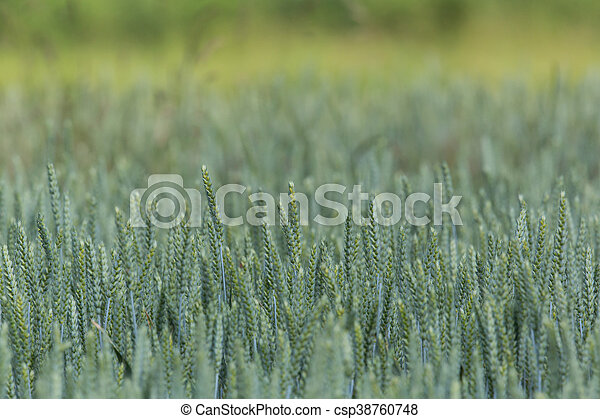 Field of a green wheatfield - csp38760748