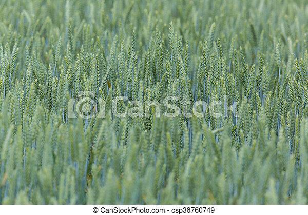 Field of a green wheatfield - csp38760749