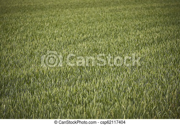 Field of barley cultivation - csp62117404