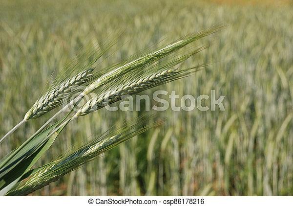 Field of  barley. - csp86178216