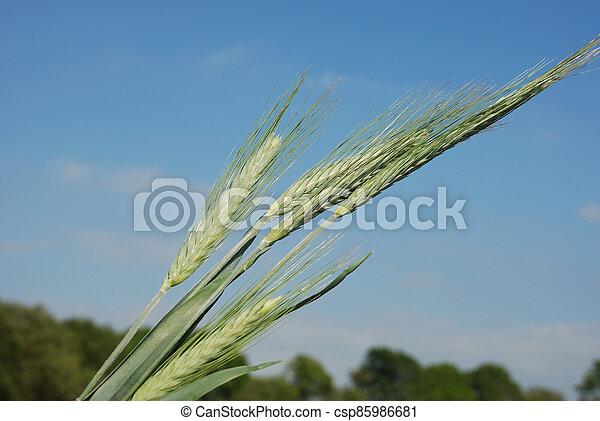 Field of  barley. - csp85986681