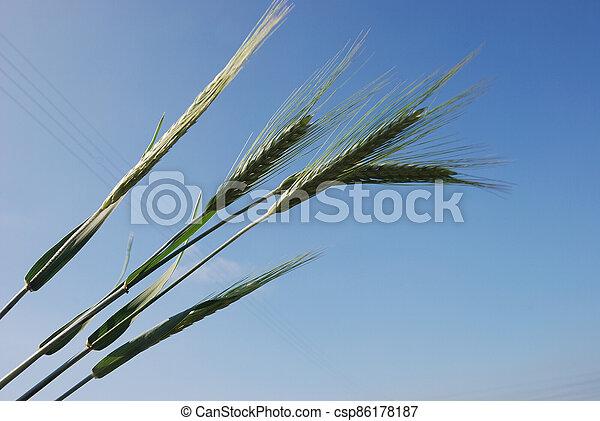 Field of  barley. - csp86178187