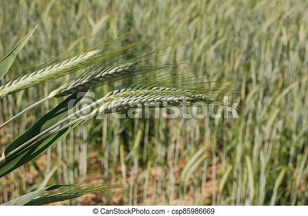 Field of  barley. - csp85986669