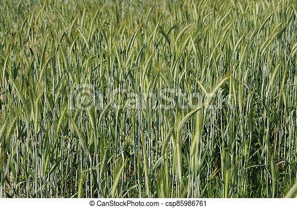 Field of  barley. - csp85986761