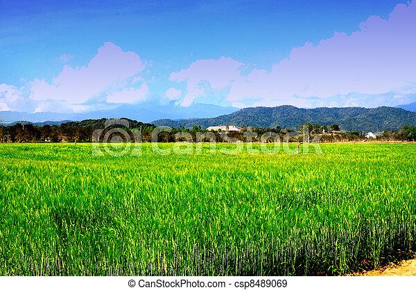 field of barley - csp8489069