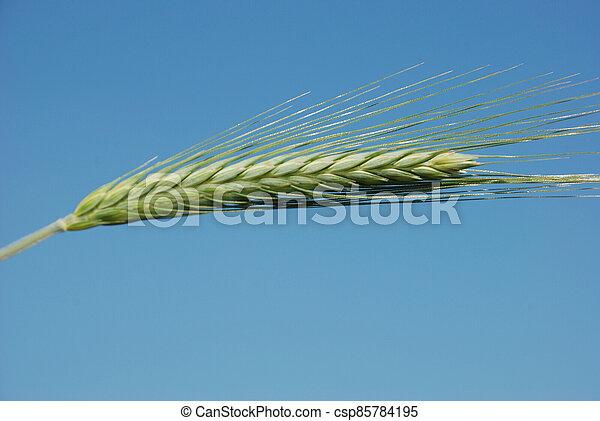 Field of  barley. - csp85784195