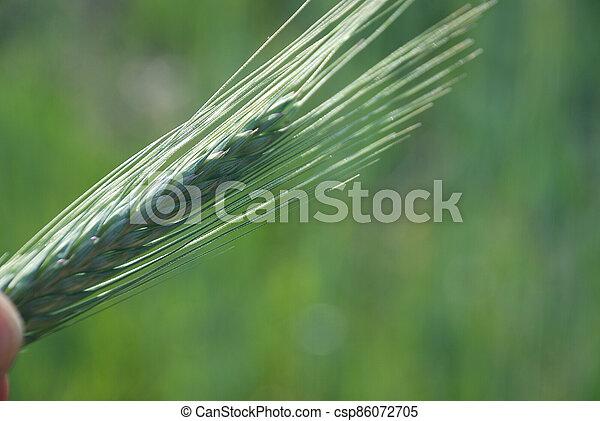 Field of  barley. - csp86072705