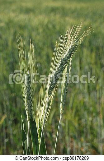 Field of  barley. - csp86178209