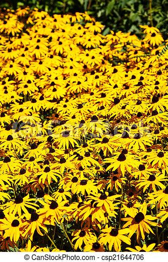 Field of Black-Eyed Susans - csp21644706