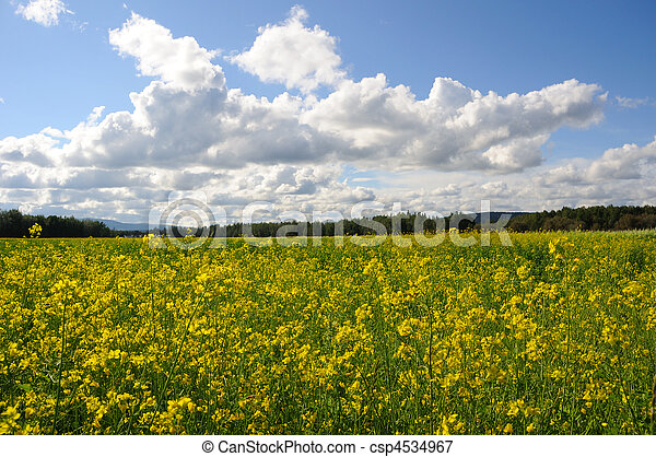 Field of Canola Flowers on a Historic Farm and Wildlife Refuge in Alaska - csp4534967