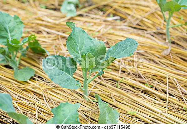 field of Chinese Broccoli - csp37115498