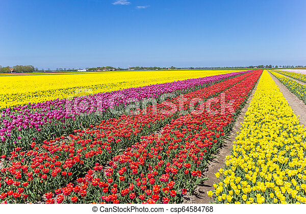 Field of colorful tulips in Noordoostpolder - csp64584768