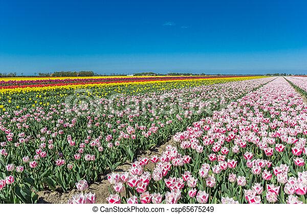 Field of colorful tulips in Noordoostpolder - csp65675249
