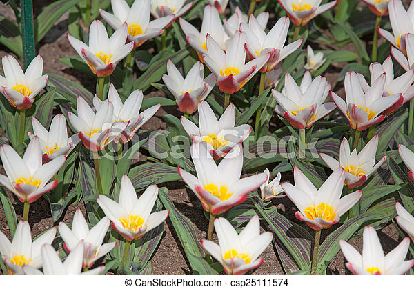 Field of colorful tulips - csp25111574