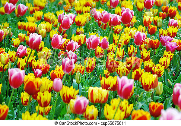 Field of colorful tulips - csp55875811