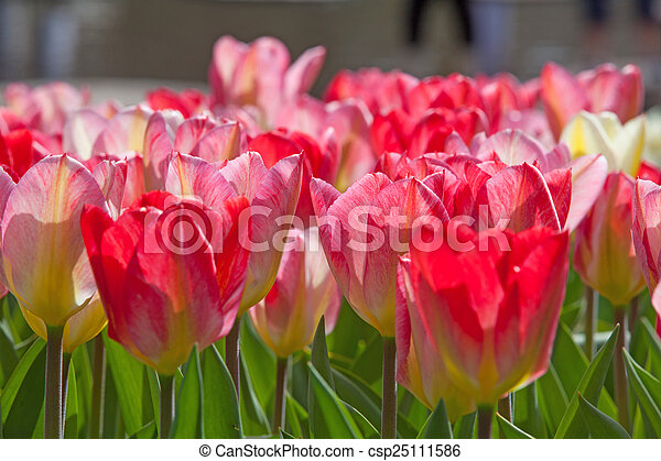 Field of colorful tulips - csp25111586