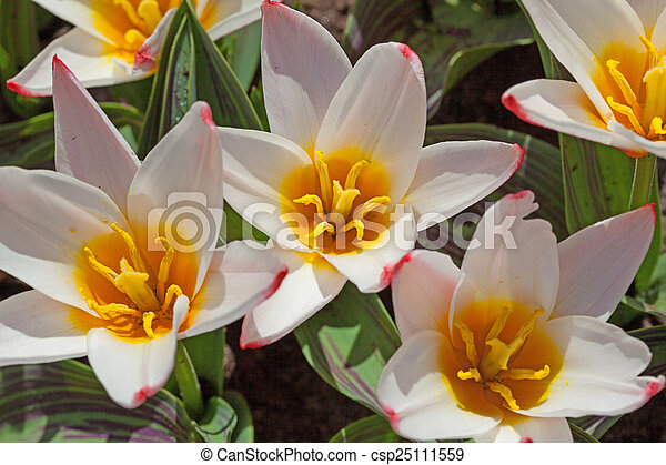 Field of colorful tulips - csp25111559