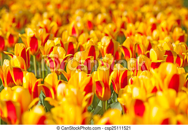 Field of colorful tulips - csp25111521