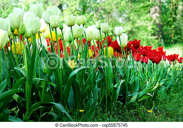 Field of colorful tulips - csp55875745