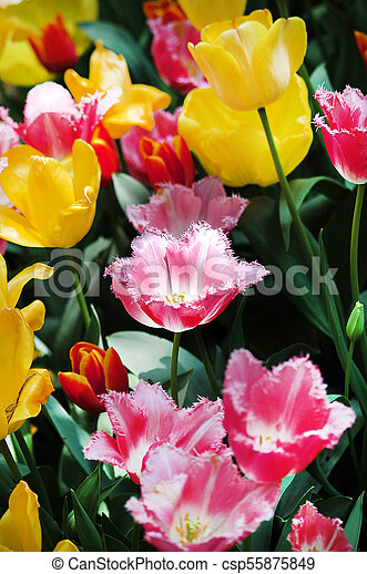 Field of colorful tulips - csp55875849