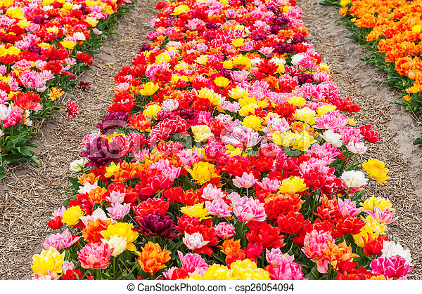 Field of colorful tulips - csp26054094