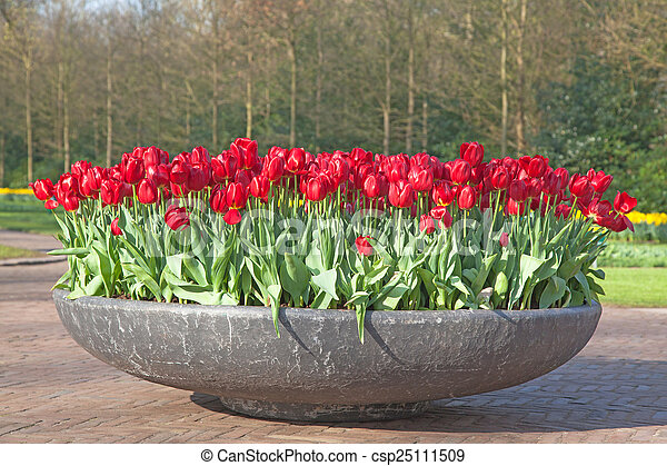 Field of colorful tulips - csp25111509