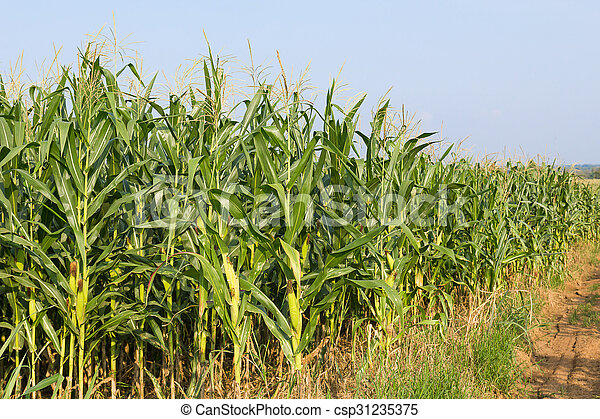 Field of corn ready for harvest - csp31235375