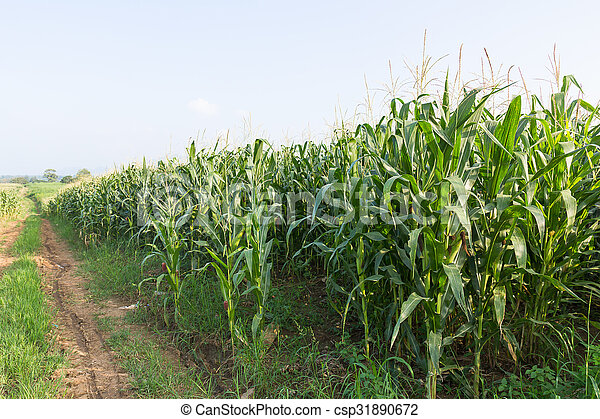 Field of corn ready for harvest - csp31890672