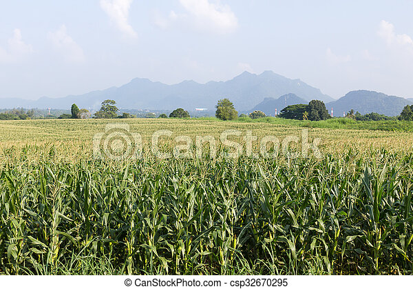 Field of corn ready for harvest - csp32670295