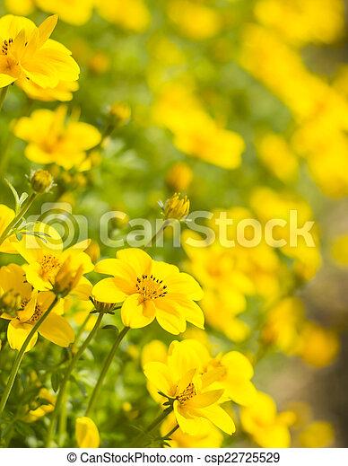 Field of Dahlberg daisy in the garden - csp22725529
