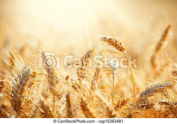Field of Dry Golden Wheat. Harvest Concept  - csp15363481