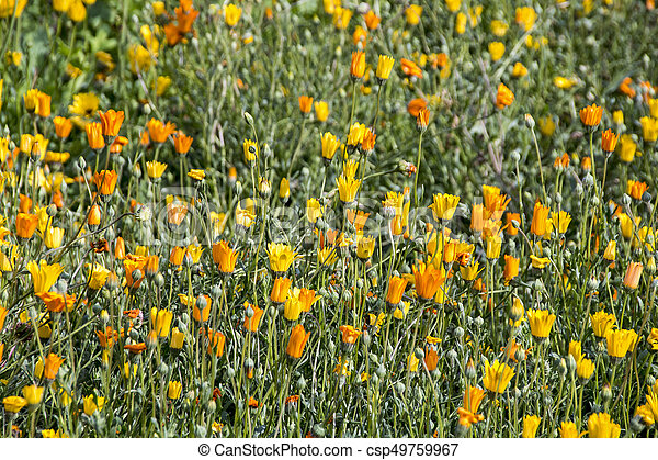 Field of Flowering Orange and Yellow Daisey Plants - csp49759967