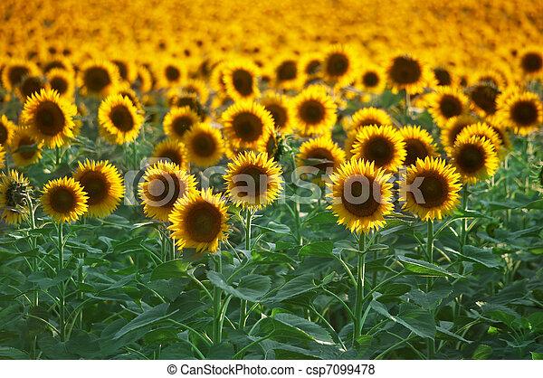 Field of flowers - csp7099478
