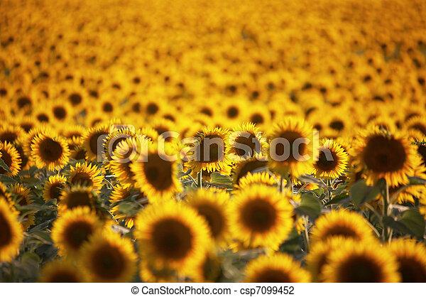Field of flowers - csp7099452