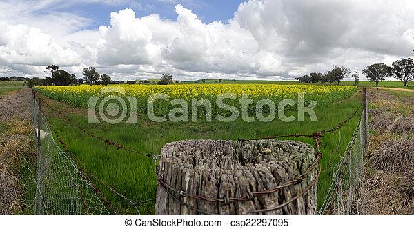 Field of Golden Canola - csp22297095