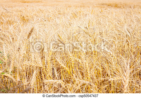 Field of Golden Wheat Ready For Harvest - csp50547437
