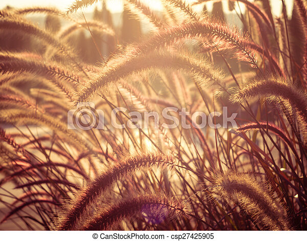 field of grass during sunset - csp27425905