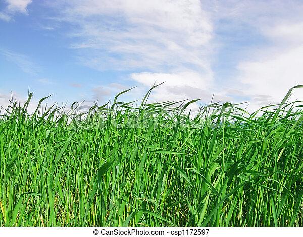 tall green grass field. Field Of Green Grass - Csp1172597 Tall D