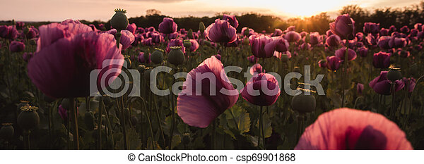 Field of lilac Poppy Flowers on sunset in early Summer - csp69901868