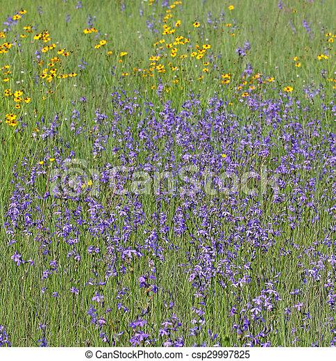 Field of Lobelia flowers - csp29997825