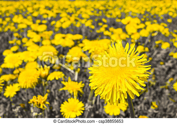 Field Of Many Flowering Yellow Dandelions Black And White