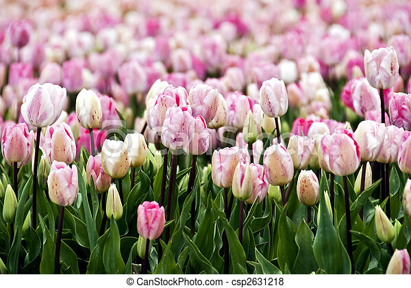 field of pink parrot-tulips  - csp2631218