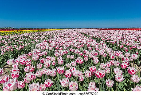 Field of pink tulips in Noordoostpolder - csp65675270