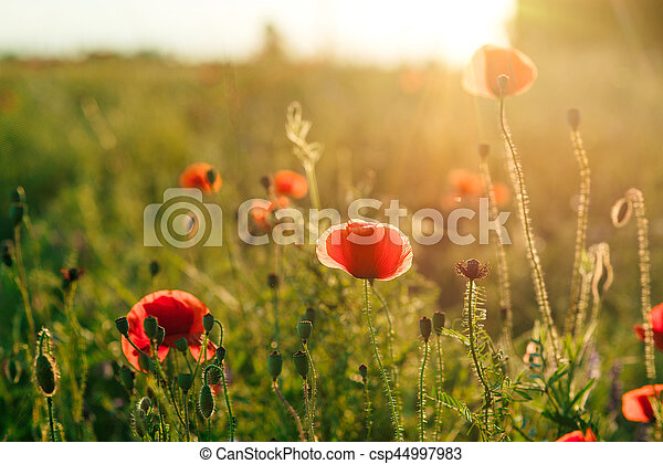 Field of poppies against the setting sun - csp44997983
