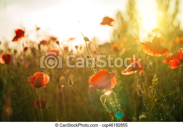 Field of poppies against the setting sun - csp46182855