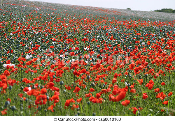field of poppies - csp0010160